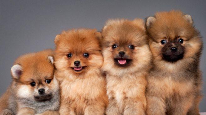 cachorro-fofo-filhotes-de-lulu-da-pomerania-1280x720